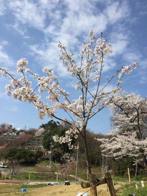 ソメイヨシノ 染井吉野 満開 おみさか花広場 信夫山