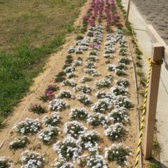 芝桜 シバザクラ おみさか花広場 信夫山 しのぶやま
