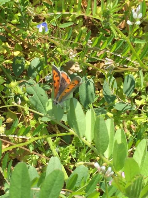 ベニシジミチョウ 蝶々 おみさか花広場 信夫山 しのぶやま 福島市