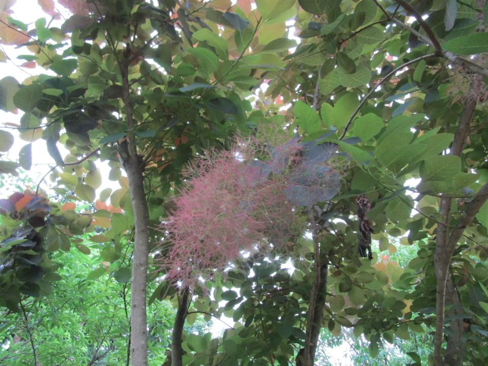 スモークツリー 煙の木 おみさか花広場 信夫山 しのぶやま 福島市